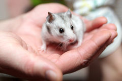 Hamster on palm Royalty Free Stock Images