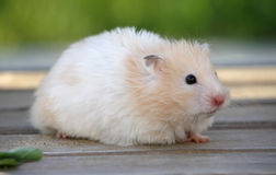 Hamster para uma caminhada Foto de Stock Royalty Free