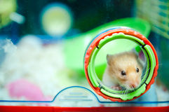 Hamster Peeping Out. A hamster peeping out from a hole of its house Stock Photo