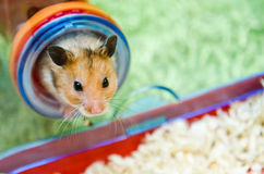 Hamster Peeping Out Stock Photo