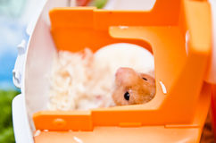Hamster Peeping Out Royalty Free Stock Photos