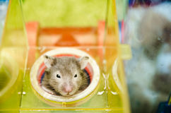 Hamster Peeping Out Stock Images