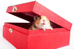 Hamster peeps out of the box Royalty Free Stock Photography