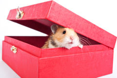 Hamster peeps out of the box Royalty Free Stock Photo