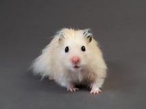 Hamster pelucheux Photo libre de droits