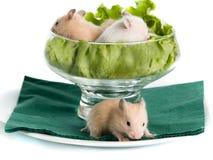 Hamster pequeno Foto de Stock Royalty Free