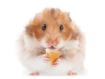 Hamster pet Stock Image