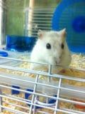 hamster peu Image stock