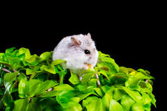 Hamster on a plant Stock Image