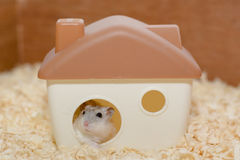 Hamster less poor. Live at home alone Stock Images