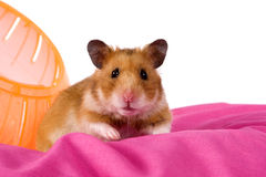 Hamster popping out of a ball Stock Photos