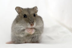 Hamster Pray Royalty Free Stock Photography