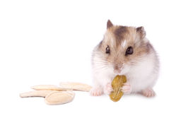 Hamster with pumpkin seed. On white Royalty Free Stock Photography