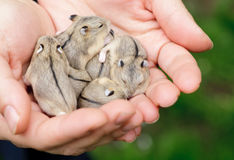 Hamster pups Royalty Free Stock Photos