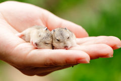 Hamster pups Stock Images