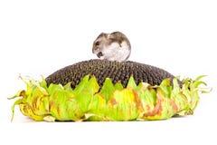 Hamster que come sementes no girassol imagem de stock royalty free