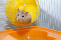 Hamster que joga o brinquedo Fotos de Stock Royalty Free