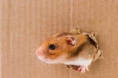 Hamster, rampements dans le trou déchiré sur le carton photos stock
