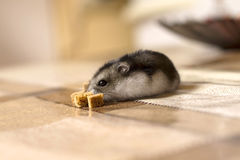Hamster reaching for crackers and sniffs it Royalty Free Stock Image