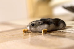 Hamster reaching for crackers and sniffs it Stock Image