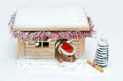 Hamster in a red christmas hat coming out  Stock Images