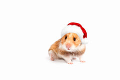 Hamster in a red Santa hat. Isolated on white background. Stock Images