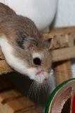 Hamster roborovski stockbild