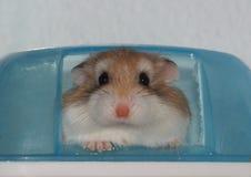 Hamster roborovski stockfotos