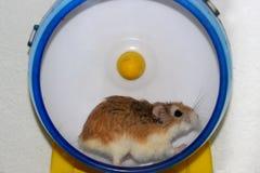 Hamster roborovski lizenzfreies stockfoto