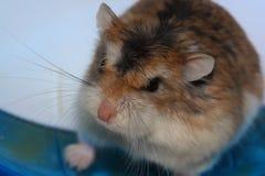 Hamster roborovski stockfotografie