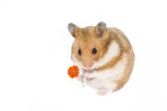 Hamster romântico Imagem de Stock Royalty Free