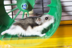 Hamster running on a wheel Stock Photo