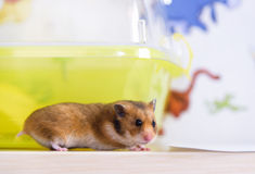 Hamster runs near its cage Royalty Free Stock Images