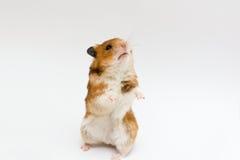 Hamster sírio Fotos de Stock