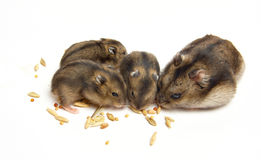 Hamster's meal Royalty Free Stock Images