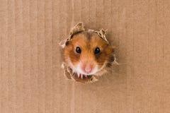Hamster, Schleichen in das heftige Loch auf der Pappe lizenzfreies stockbild
