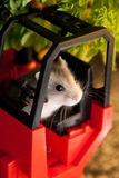 Hamster Seated in a Forklift. Young Hamster seat in a ForkLift Stock Images