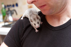 Hamster on shoulder Royalty Free Stock Images