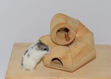 Hamster sibérien Image stock