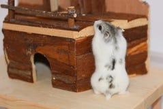 Hamster sibérien blanc et gris Photos stock
