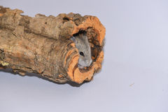 Hamster sibérien caché dans le tronc Photos stock