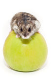 Hamster sits on Apple Royalty Free Stock Photography