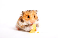 Hamster sits and eats Stock Image