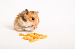 Hamster sits and eats Stock Images