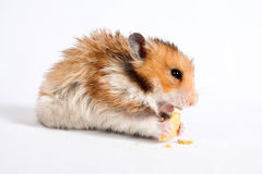 Hamster sits and eats Royalty Free Stock Photo