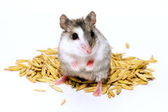 Hamster sits on grains