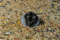 Hamster on cereal grains stock image