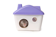 Hamster sits in the lodge.  on the white Royalty Free Stock Photos