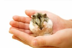 The hamster sits on a palm and washes Royalty Free Stock Photo