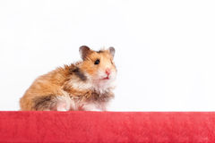 Hamster sitting on the box Stock Photography